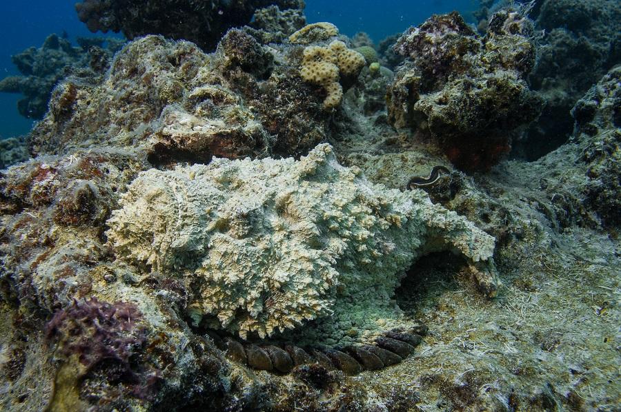 poisson-pierre sur l'île des Pins en Nouvelle-Calédonie. © Dominique Barray