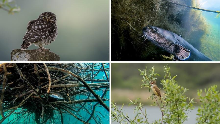 Chouette Chevêche, silure, anguille, rousserolle... un petit aperçu de la richesse de la biodiversité wallonne. © Robert Henno et Jean-Christophe Grignard - Wallonie sauvage