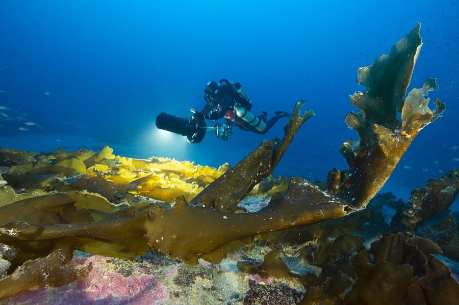 L'espèce de laminaire endémique de Méditerranée (Laminaria rodriguezii) étudiée par l'équipe de Gombessa 5. © Laurent Ballesta / Andromède océanologie, Gombessa 5.