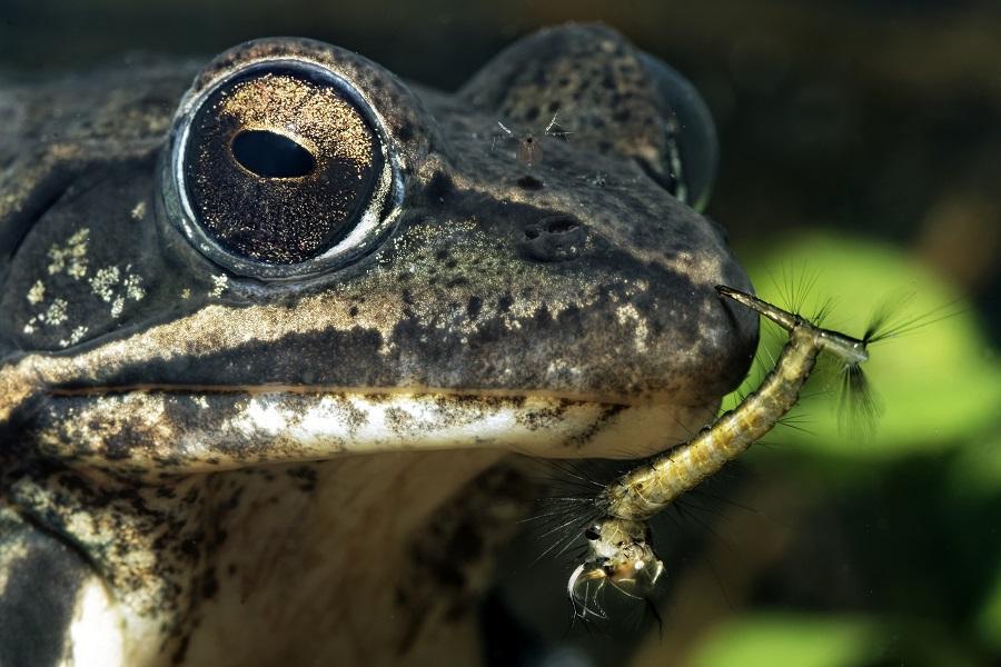 Portrait d'une grenouille agile dans une mare éphémère. © Bruno Guénard