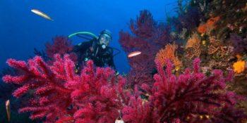 Gorgones rouges avec plongeur.