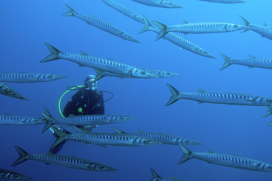 Plongeur dans un banc de barracudas à Cabo de Palos