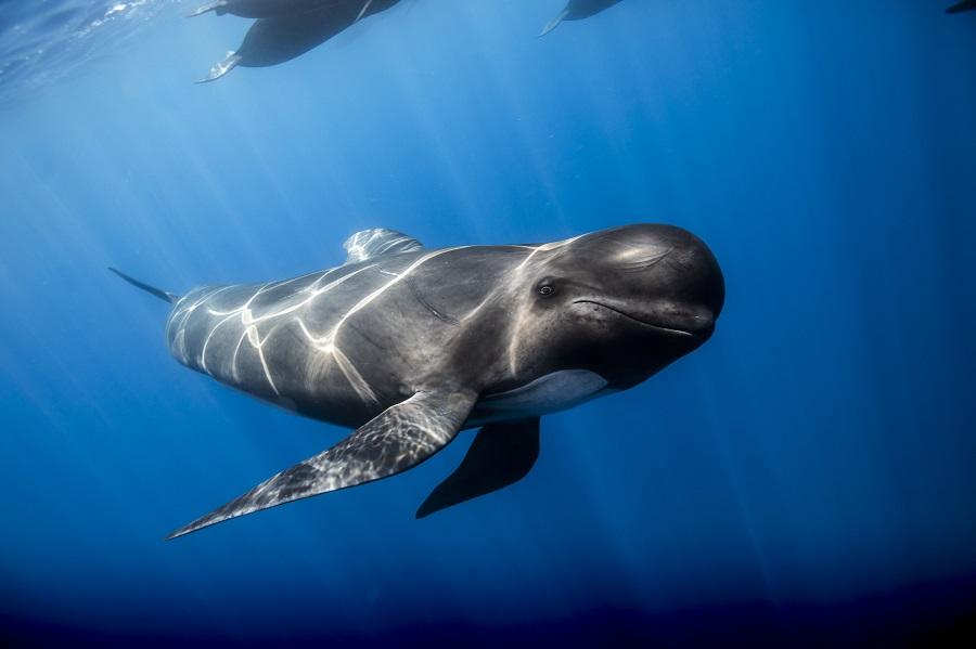 Globicéphale rencontré au large de Marseille. © Guillaume Ruoppolo