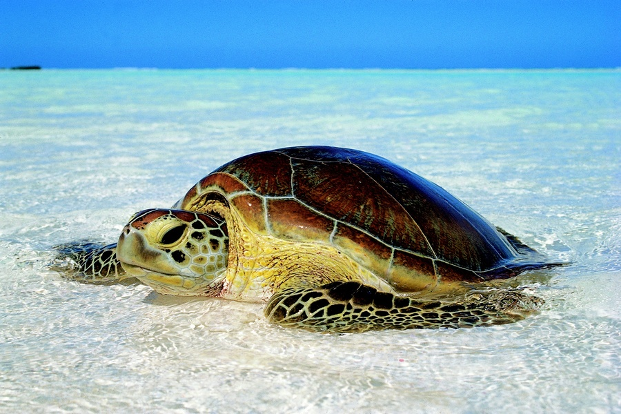Cabosse, la tortue verte, a rejoint son île de naissance.