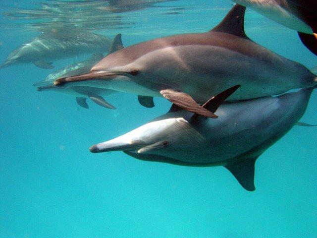 En snorkeling ou en plongée, lors de la croisière sur les récifs de Sataya, nagez avec les dauphins à long bec. © Nella Driessen