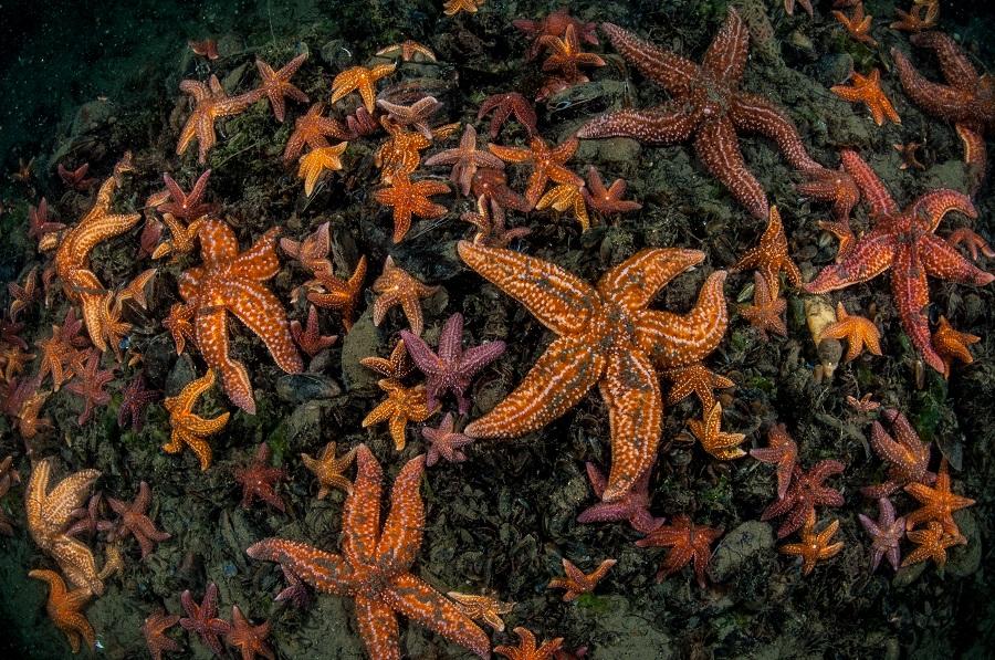 Tapis d'étoiles de mer en région Aquitaine. © Patrick Ragot