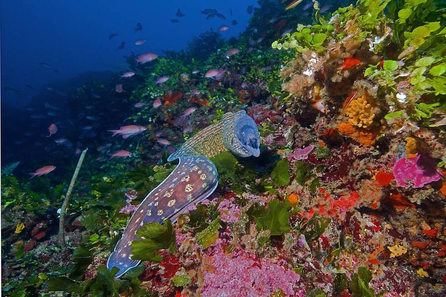 Murène commune sur le récif