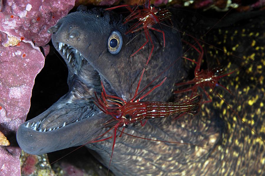 Murène et ses crevettes nettoyeuses