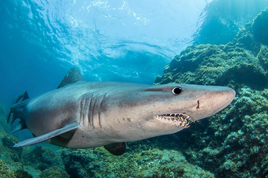 Requin féroce aux Canaries. © Claude Lespagne