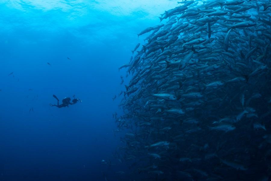 Plongeur face à une immense banc de poissons à Malpelo, par Abyssworld. © Marta Sostres