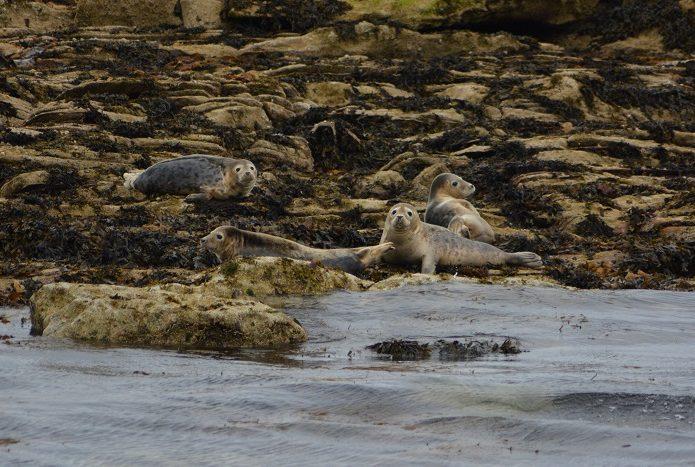 Rencontre avec des phoques sur les côtes écossaises. © Marc Langleur