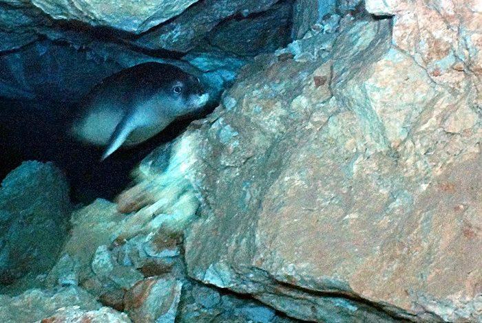 Rencontre avec un phoque moine dans une caverne. © Epidive Center