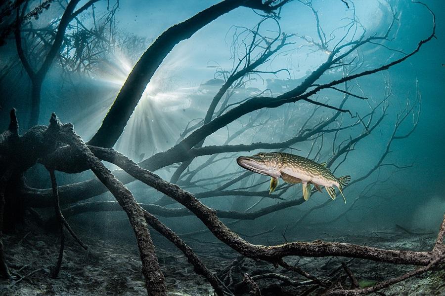 Manta d'argent - eau douce - FIISMNC 2020 © Rafael Fernandez Caballero