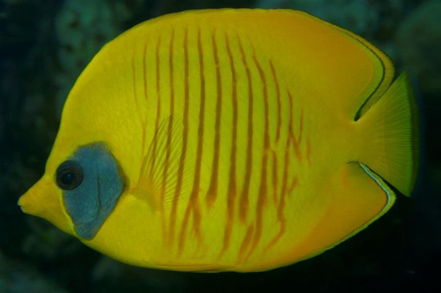 Poisson-papillon jaune masqué