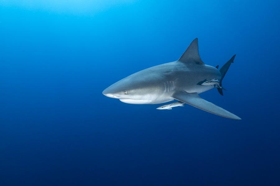 Rencontre avec les requins-bouledogues au large du Mozambique. © Fabrice Dudenhofer