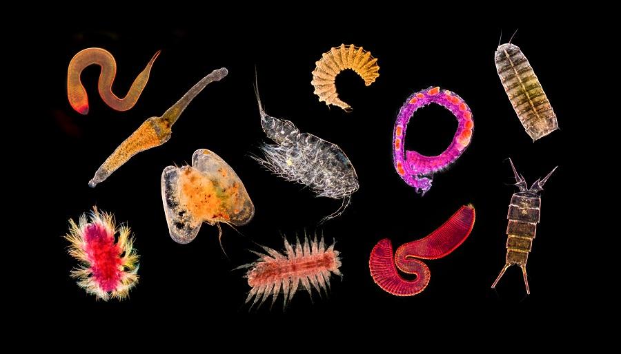 Vue d'ensemble de la petite faune abyssale au microscope optique. © Gilles Martin / Ifremer