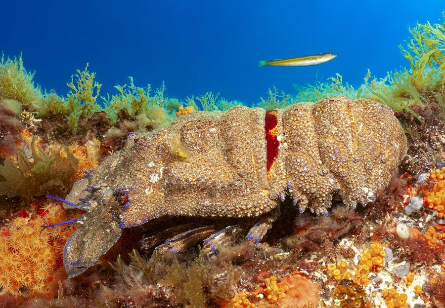 La carapace de la grande cigale de mer forme une véritable armure de protection. © Dominique Barray