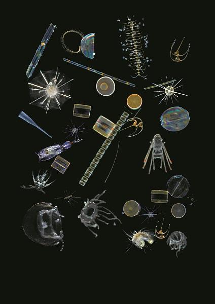 Différents exemples de planctons. ©Christian Sardet,Noé Sardet, Chroniques du plancton - Fondation Tara Océan