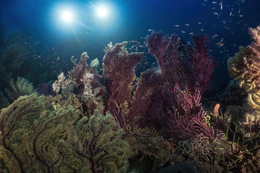 D'immenses gorgones recouvrent l'épave du Guyane. © Marc Langleur