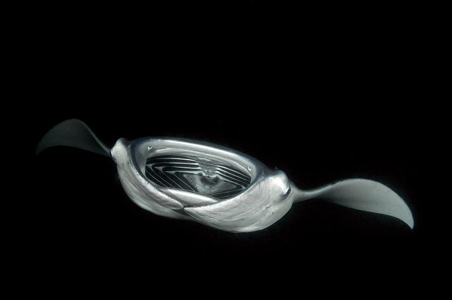 Manta Mobula alfredi de nuit. © Dominique Barray