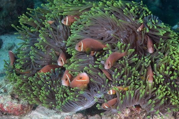 L'anémone de mer sécrète un venin auquel est insensible le poisson-clown vivant en symbiose avec elle. © Nicolas Barraqué