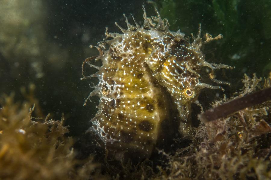 Découvrez les particularité génétiques des hippocampes de l'étang de Thau. © Claudia Weber-Gerbert