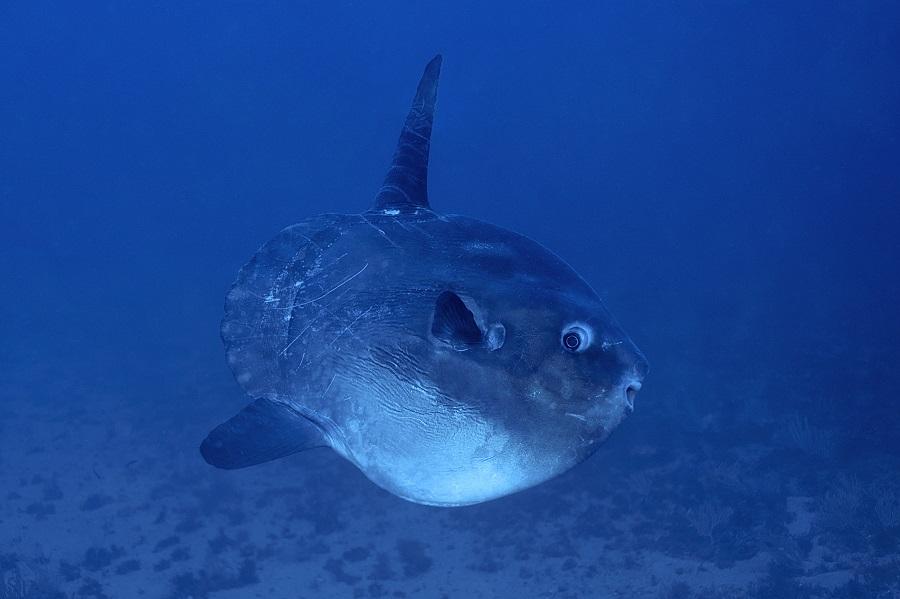 Le poisson-lune fait partie de ces rencontres que tout plongeur rêve de vivre en Méditerranée. © Dominique Barray