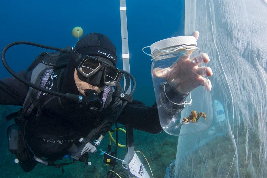 Dr. Patrick Louisy et 2 hippocampes mâles (hippocampus guttutalus) dans un bocal prêts à être transférés dans le filet de transit avant d'être remis en mer. © Jean-Michel Mille