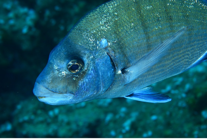 Macro poisson. © équipe n° 17 - Catherine Giannilevigne et Caroline Al Vado