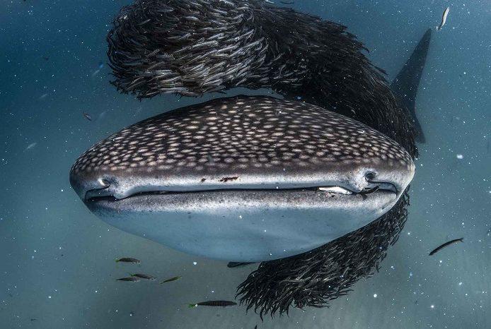 Une observation rare d'un requin-baleine se nourrissant d'un grand bait ball sur le récif de Ningaloo, en Australie occidentale. 3ème place portfolio - Alex kyss © Alex Kydd - Ocean photography awards