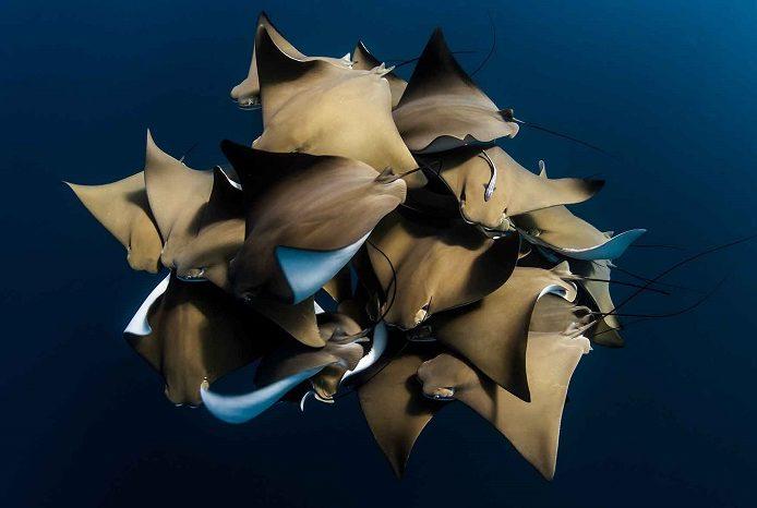 Une rencontre rare avec des raies mourines sur le récif de Ningaloo, en Australie occidentale. 3ème place portfolio - Alex kydd © Alex Kydd - Ocean photography awards