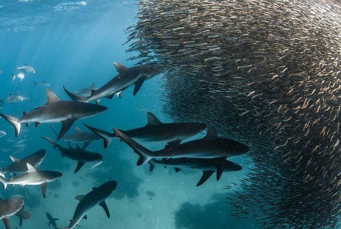 Les requins gris de récif chassent un énorme bait ball. 3ème place portfolio - Alex kydd © Alex Kydd - Ocean photography awards