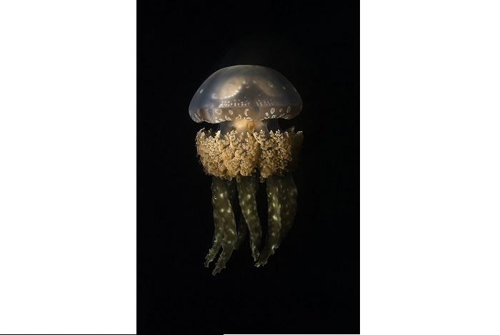 La méduse papoue, surnommée la Méduse dorée, photographiée de nuit dans un lac de méduses à Raja Ampat, en Papouasie occidentale. 3ème place portfolio - Alex kydd © Alex Kydd - Ocean photography awards