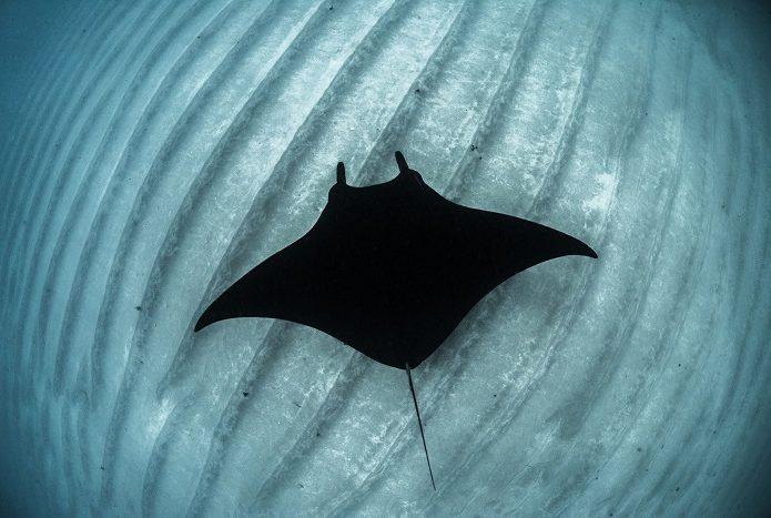 Une manta de récif nageant sur un banc de sable de Coral Bay, en Australie occidentale. 3ème place portfolio - Alex kyss © Alex Kydd - Ocean photography awards