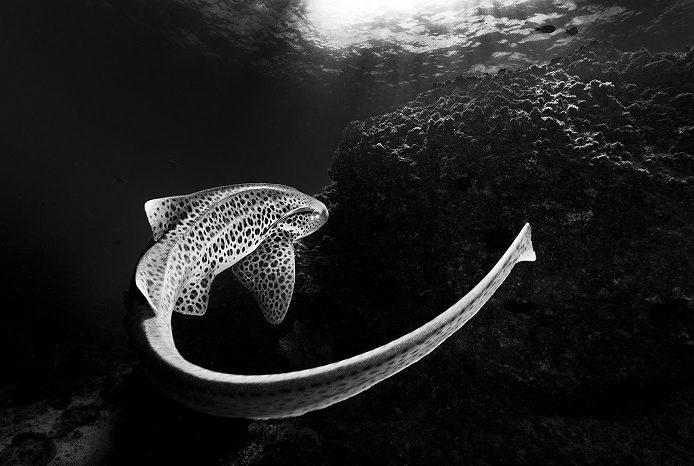 Les caractéristiques distinctives d'un requin léopard : une queue en forme de fouet et de beaux motifs de peau. 2ème place portfolio - Matty Smith © Matty Smith - Ocean photography awards