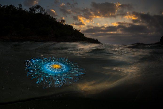Comme une galaxie miniature en rotation à la surface de l'océan, le siphonophore Porpita porpita. 2ème place portfolio - Matty Smith © Matty Smith - Ocean photography awards