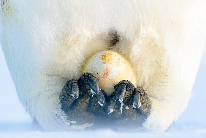 L'œuf de manchot empereur est élevé par les pères et porté sur leurs pieds. 1ère place portfolio - Stefan Christmann © Stefan Christmann - Ocean photography awards