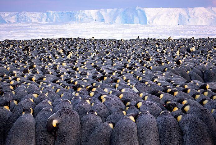 Manchots empereurs mâles se blottissant pendant la nuit polaire, pour rester au chaud en groupe. 1ère place portfolio - Stefan Christmann © Stefan Christmann - Ocean photography awards