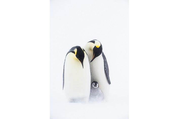Deux parents manchots empereurs protégeant leur jeune poussin des bourrasques de neige. 1ère place portfolio - Stefan Christmann © Stefan Christmann - Ocean photography awards