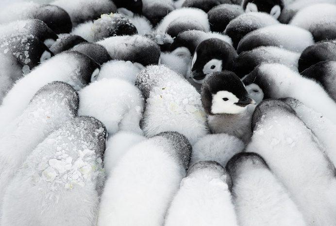 Lorsque les deux parents sont à la recherche de nourriture, leurs poussins se rassemblent dans des crèches ou des mini-groupes. 1ère place portfolio - Stefan Christmann © Stefan Christmann - Ocean photography awards