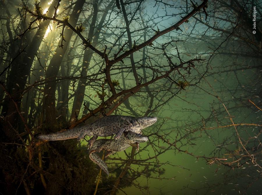 Prix comportement reptiles et amphibiens © João Rodrigues, Wildlife Photographer of the Year