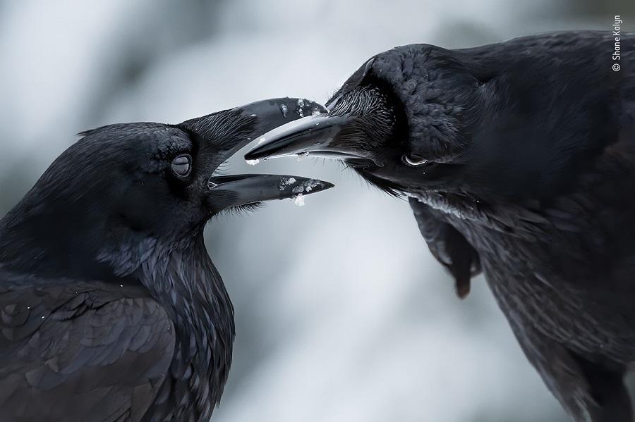 Prix comportement oiseaux. © Shane Kalyn, Wildlife Photographer of the Year