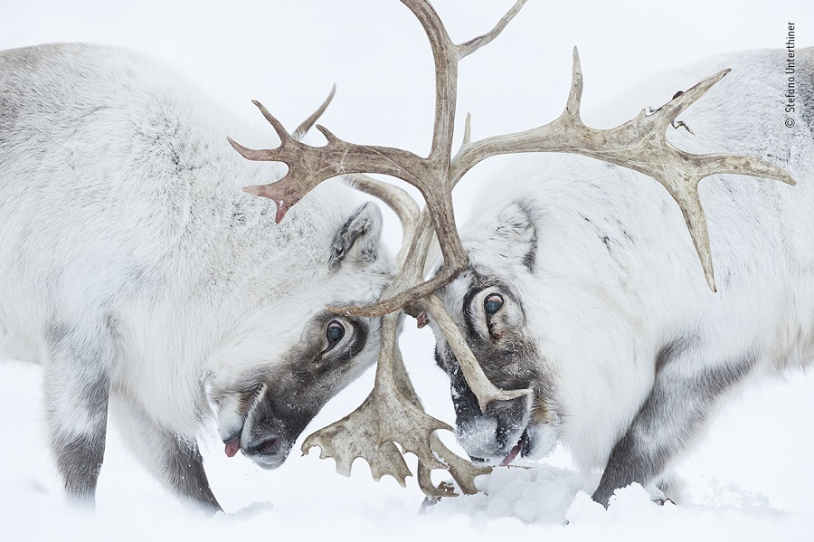 Prix comportement mammifères. © Stefano Unterthiner, Wildlife Photographer of the Year