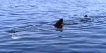 Le requin-pèlerin, menacé et méconnu