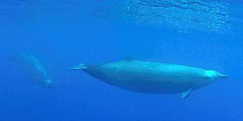 Des baleines à bec de True filmées pour la première fois