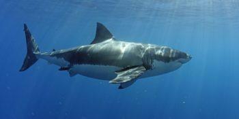 Grand requin blanc à Guadalupe.